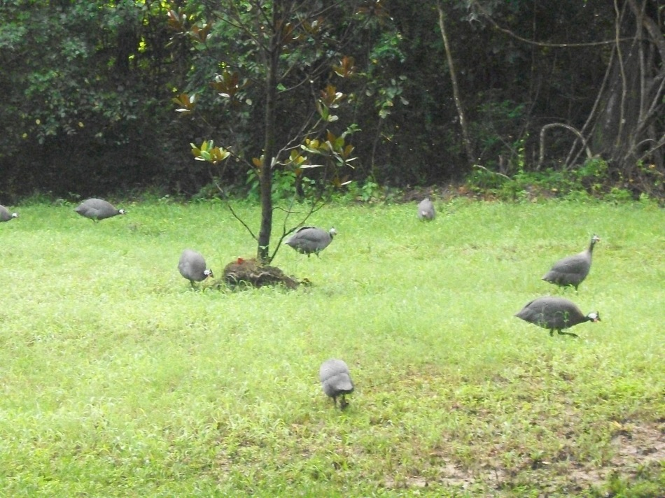 Guineas---African Birds in the Lowcountry