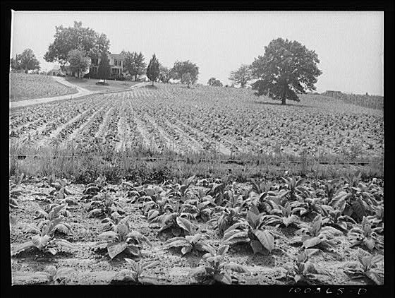 Tobacco Field, Southern Maryland