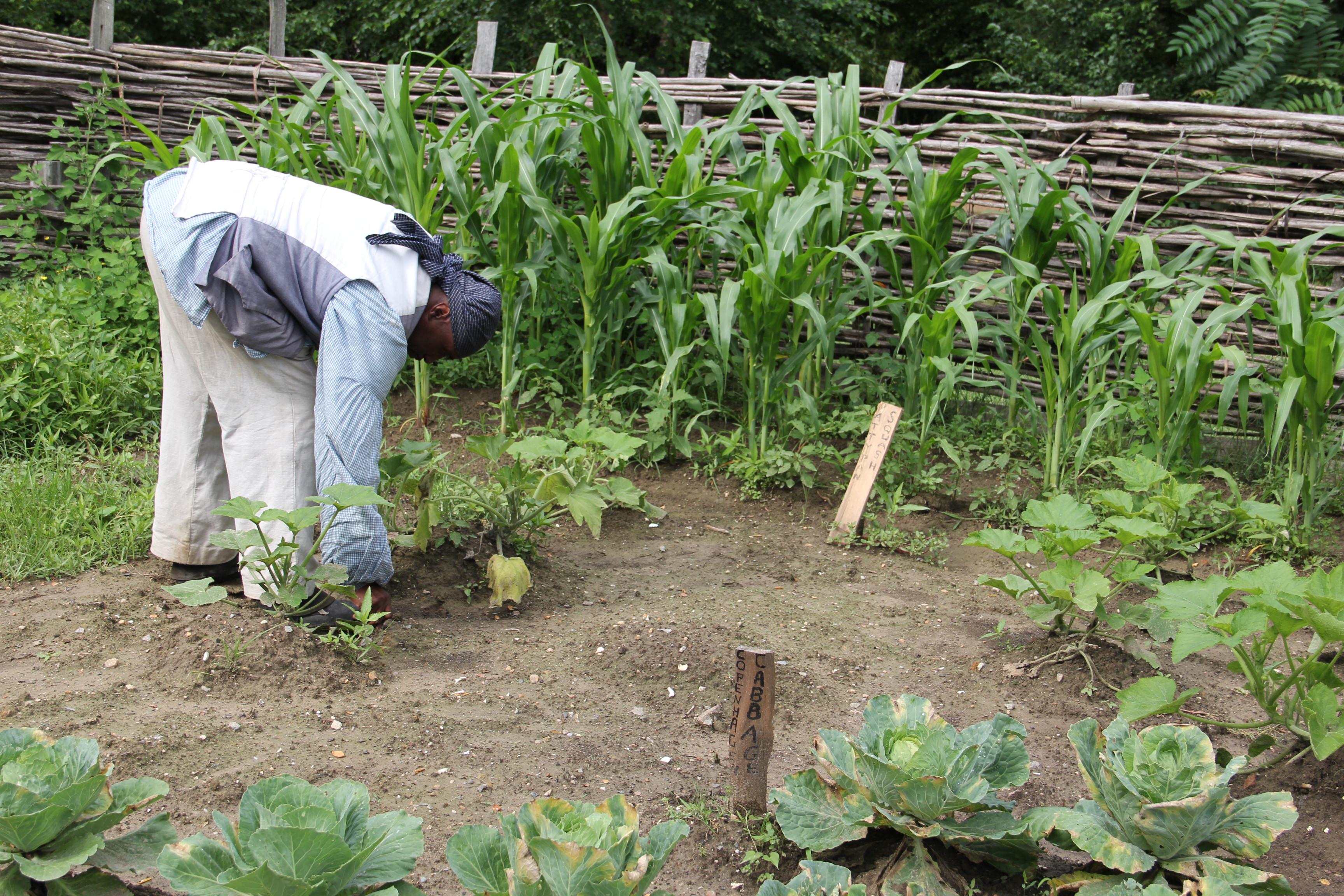 Tobacco Plantation In ...