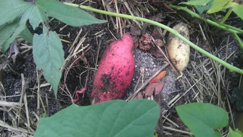 The kind of heirloom sweet potatoes Solomon would have eaten
