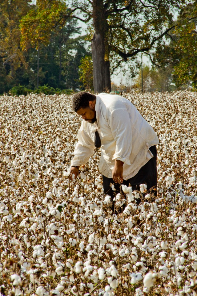Picking Cotton, Chippokes Plantation State Park, VA