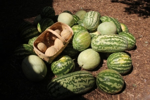 Watermelons from Montezuma, Georgia